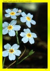Sumpf-Vergißmeinnicht (Myosotis scorpioides)