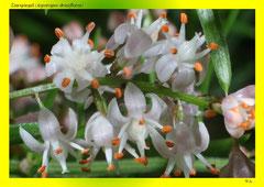 Zierspargel (Asparagus densiflorus)
