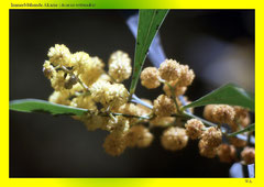 IImmerblühende Akazie (Acacia retinodes)