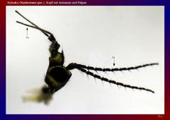 Schnake (Nephrotoma spec.), Kopf mit Antennen und Palpen-ca. 20x