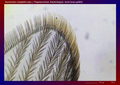 Stechmücke (Anopheles spec.), Flügelausschnitt, Randschuppen und Adern leicht braun gefärbt-ca. 70x