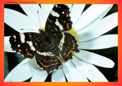 Landkärtchen (Araschnia levana)