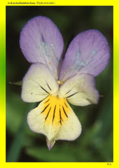 Ackerstiefmütterchen (Viola tricolor)