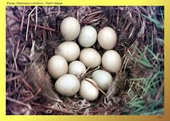 Fasan (Phasianus colchicus), Nest+Gelege