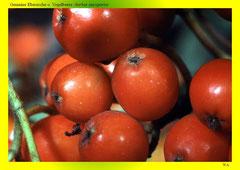 Gemeine Eberesche o. Vogelbeere (Sorbus aucuparia)