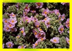 Graubehaarte Zistrose (Cistus creticus)