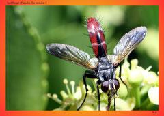 Igelfliege (Familie Tachinidae)