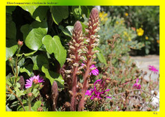 Efeu-Sommerwurz (Orobanche hederae)