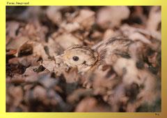 Fasan (Phasianus colchicus), Jungvogel