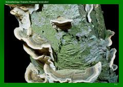 Schmetterlings-Tramete (Trametes versicolor)