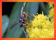 Dickkopffliege (Conops vesiculanis)