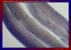 Kleiner Kohlweißling (Pieris rapae), Flugmuskulatur, Muskelfasern mit Querstreifung-ca. 600x