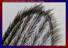 Asiatische Tigermücke (Stegomyia albopicta_Aedes albopictus), ♀, Flügelende-ca. 70x