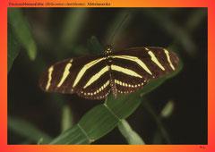 Passionsblumenfalter (Heliconius charithonia), Mittelamerika
