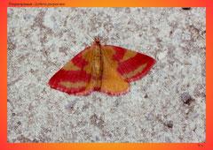 Purpurspanner (Lythria purpurata)