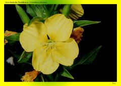 Gewöhnliche Nachtkerze (Oenothera biennis)