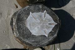 Bild 3 zeigt einen Seestern im Holz- auch wenn das Holz geschlagen ist, so kann es doch weiter leben und die Phantasie anregen.