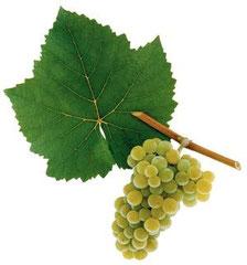 Weißburgunder (Pinot Blanc)