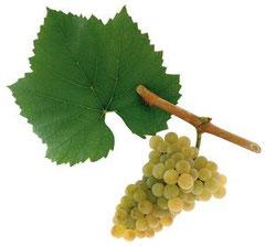 Chardonnay ( Morillon)
