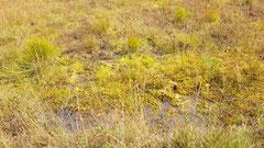 wiedervernässtes Moor