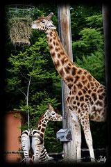 Admirez le croisement entre un Zèbre et une Girafe...