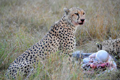 Cheetah after the hunt in Massai Mara