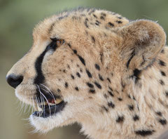 cheetah at Inverdoorn