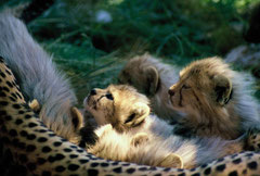 cheetah cups with mom