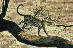 Leopard @ Samburu NP