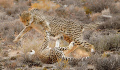 cheetah arguement in the early morning