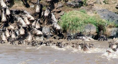 Crossing the Mara River