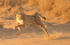 cheetah on speed