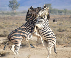 Zebras fight