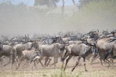 wildebeest on the run for Mara River