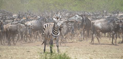 the crossing starts with a zebras call