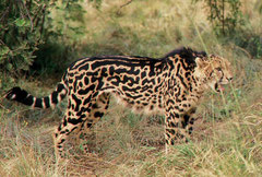 a male King Cheetah @ de Wildt