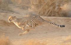 cheetahs running
