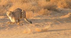 cheetah flight