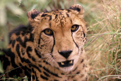 king cheetah 6 years old