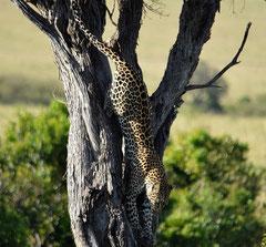 a leopard decending a tree
