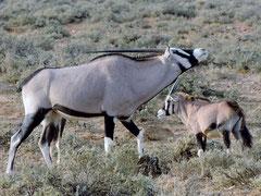 Oryx at Inverdoorn
