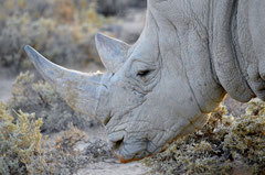 Rhinos horn poisoned to get the poachers away