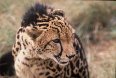 king cheetah portrait