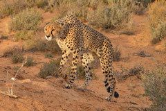 cheetah on the prowlin SA