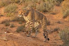 cheetah on the prowlin SA