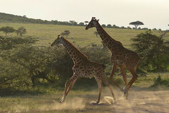 Girafes crossing a road
