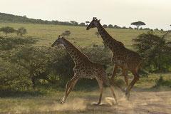 Girafes crossing a road