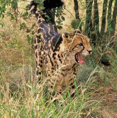 a king cheetah @ de Wildt
