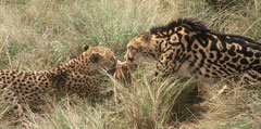 arguement between a spotted cheetah left and a king cheetah right