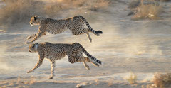 cheetahs hunting at Inverdoorn